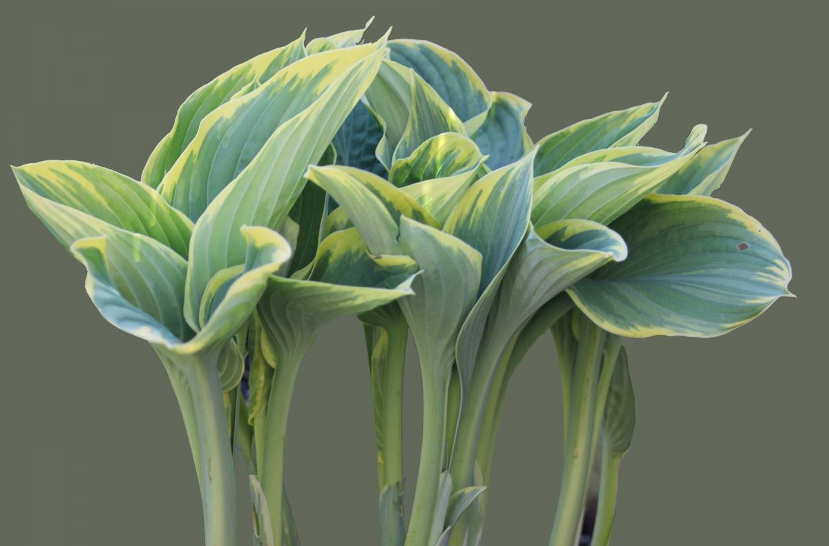 plantain-lily-5283243_1920