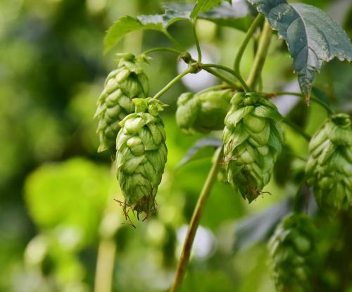 hops-3542601_1920