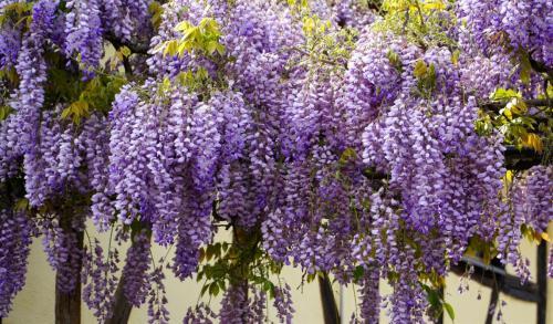 wisteria-5126106_1920